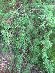 Foliage of myrrh (Commiphora sp.)