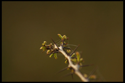 Thorny Bush by Sushil