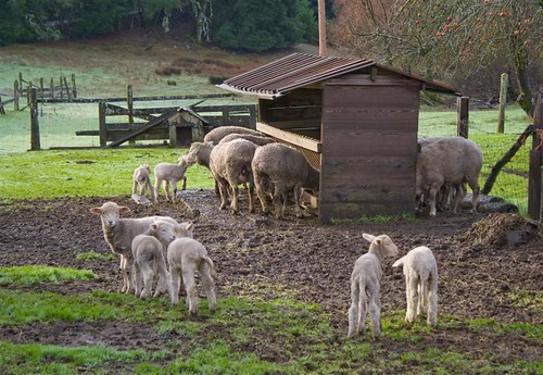 Lambs at Ranch (Medium)