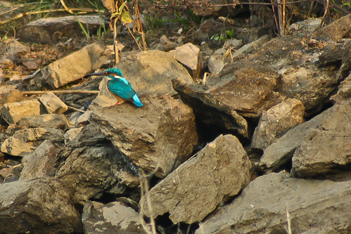 Common Kingfisher spotted far