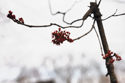 red buds on the maple tree