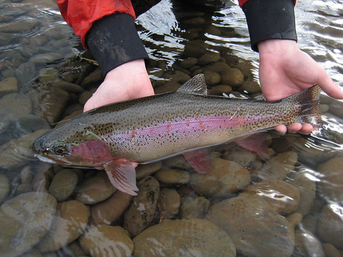 Wild Lower McKenzie River Rainbow Trout