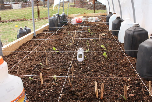 Inside the hoops.  In the front squares you can see lettuce started a week before the previous pictures.