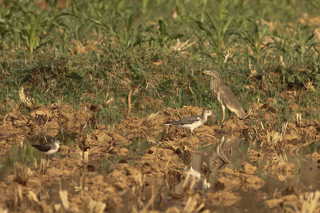 Pond Heron and Marsh Sandpiper searching for prey