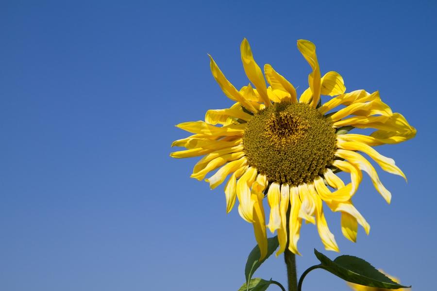 20110205_11_sunflower_02