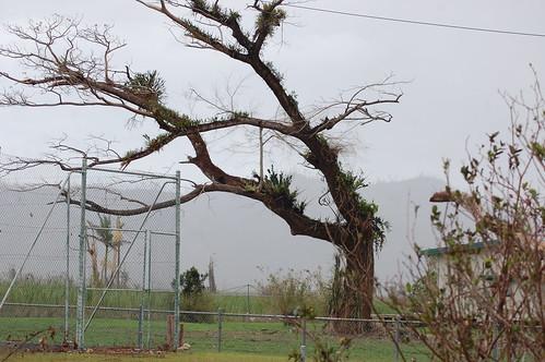 feluga tree loses its branches