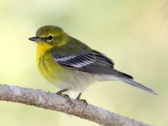 Pine Warbler 20110311