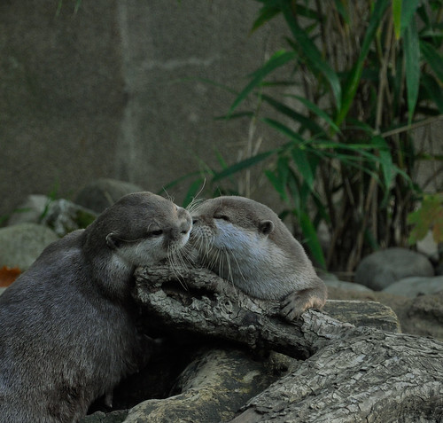 two river otters draped over a piece of wood, with greenery and rocks in the background. One is touching its nose to the other's cheek, as if giving it a smooch.