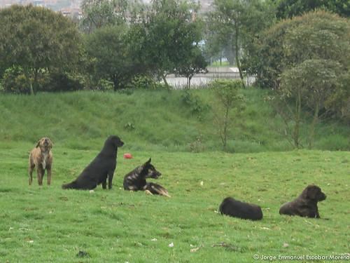 Perros ferales humedal Juan Amarillo