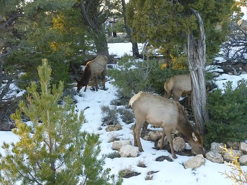 Grand Canyon 220 - Elk Herd 17