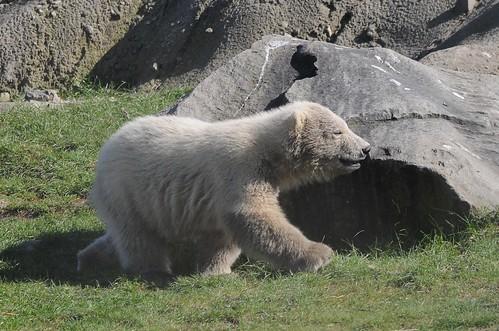Eisbär Vicks im Dierengaarde Blijdorp in Rotterdam