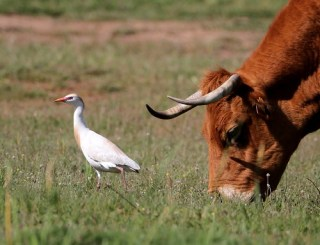 2011_05_04 PO - Western Cattle Egret (Bubulcus ibis) by Mike at Sea