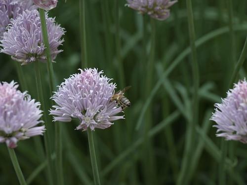 albinutza harnicutza
