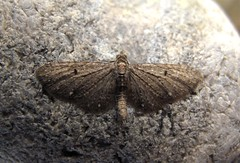 White-spotted Pug - Roof Terrace