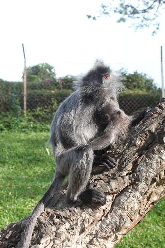 201102180810_silver-leaf-monkey