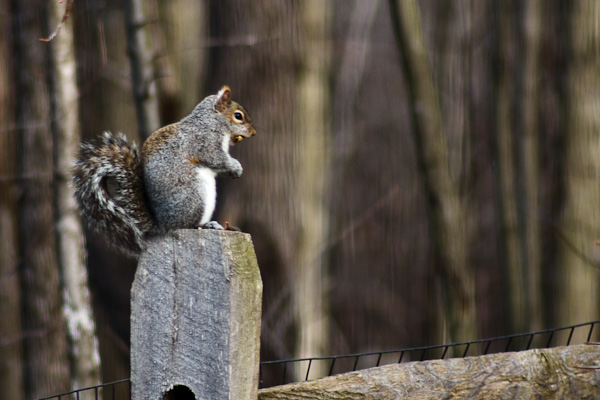 A squirrel enjoys his breakfast atop a fence post.