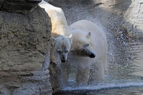 Eisbären Lloyd und Victoria im Zoo am Meer in Bremerhaven