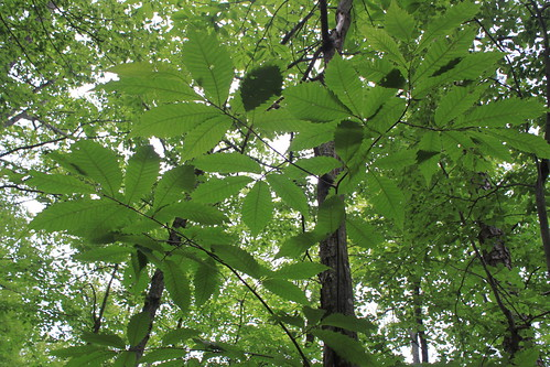 McAfee's Knob - Switchback Chestnut Leaves From Below