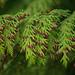 conifer tree berries