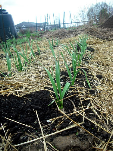 garlic... still growing - april 24