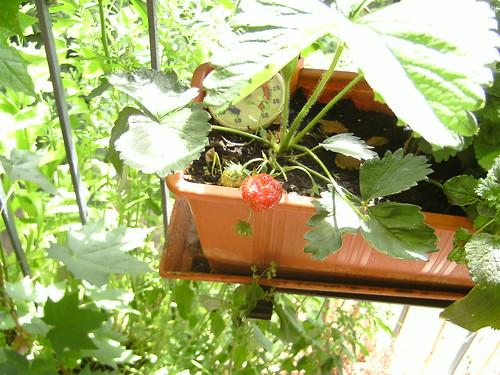 Meine erste Erdbeere :o)