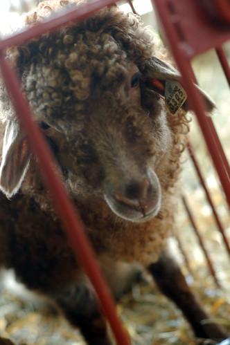 cute sheep face