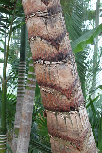New York Botanical Gardens - Pattern in Traveller's Tree (Ravenela madagascariensis)