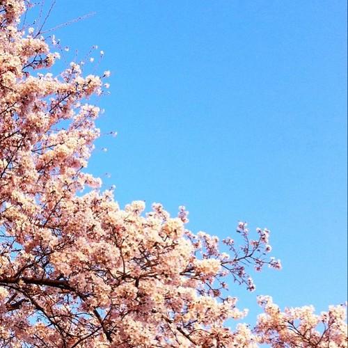 お昼~! 桜がいい感じになってきたね! 週末は花見だね! あと半日、がんばろ~!v( ̄Д ̄)v イエイ #afternoon #sakura