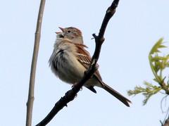Field Sparrow singing 20110505