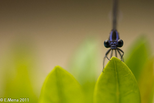 Libélula / Blue-tailed Damselfly (Ischnura pumilio)
