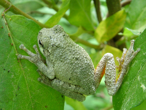 Cope's Gray Treefrog by chiral_c/Catherine Stevens