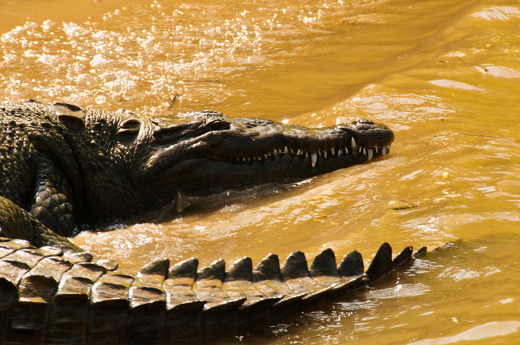 Crocodile in the Sumidero Canyon