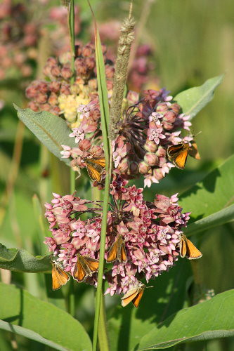 European Skippers on milkweed