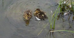 Ducks_0001.jpg by ladywriter47