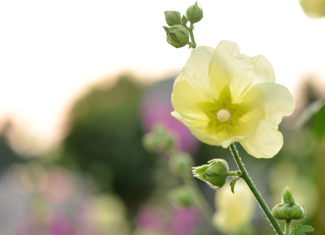 yellow hollyhock