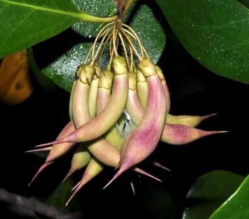 aegiceras corniculatum  river mangrove   myrsinaceae