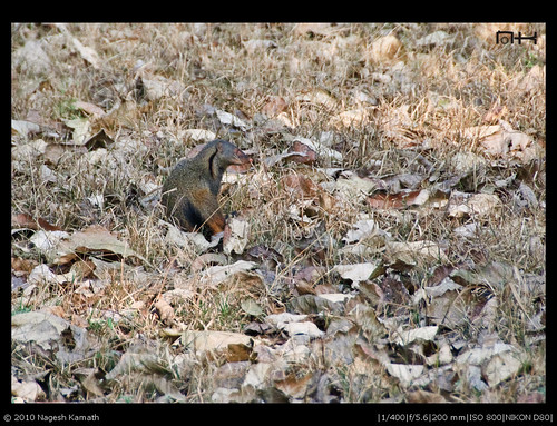 Mongoose | Kabini