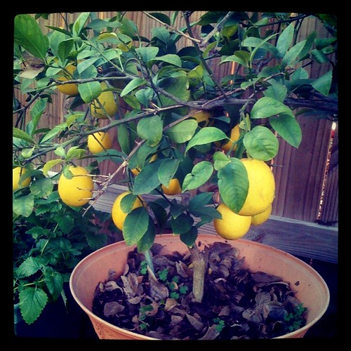 lemon tree!
