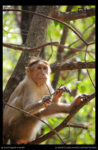 South Indian Monkey (Bonnet macacque) | Kabini