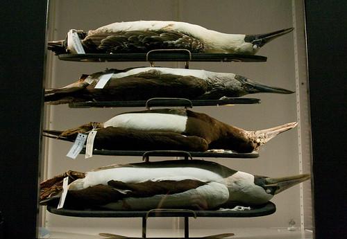 Beaty Museum - Boobies or Cormorants