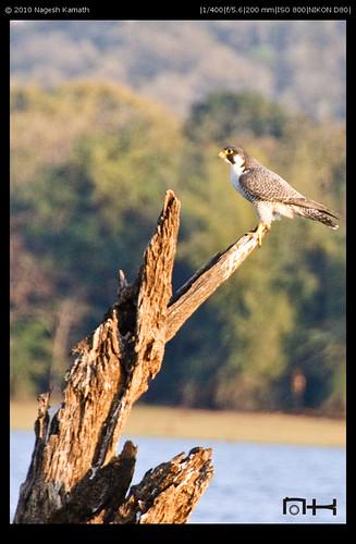 Peregrine Falcon | Kabini