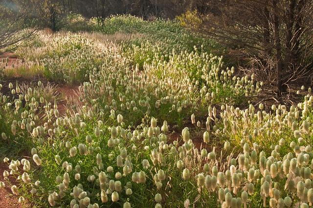 Wild flowers at Uluru