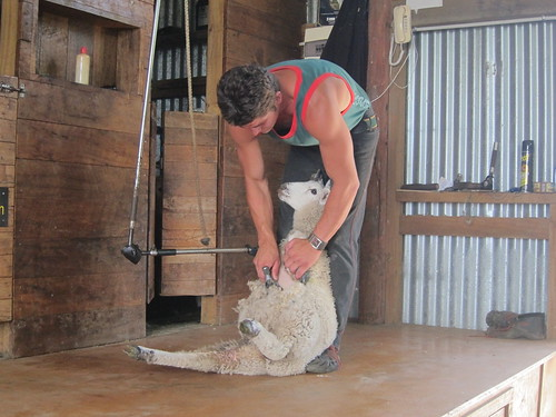 Sheep shearing at Shire's Rest