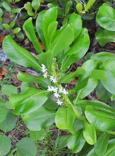 Scaevola taccada (Sea Lettuce)