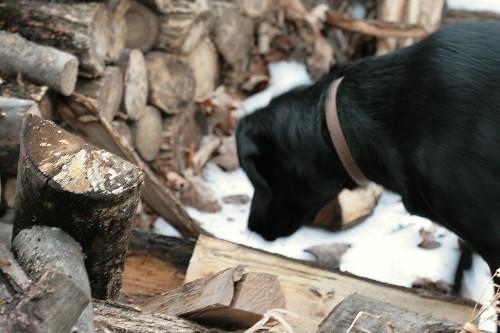 Raven at log pile