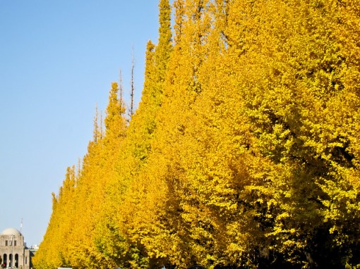 Gingko avenue
