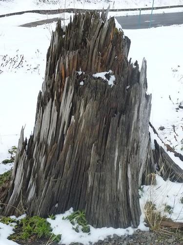 MtStH 51 blast  torn tree stump closeup