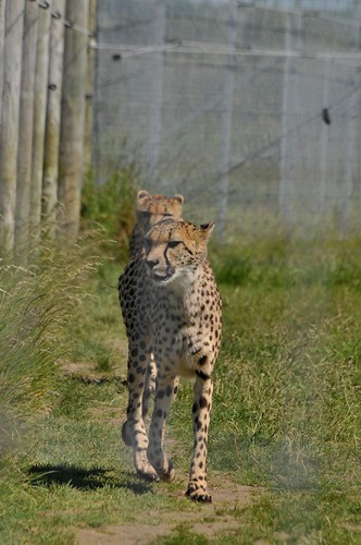 Gepard im Hamerton Zoo Park