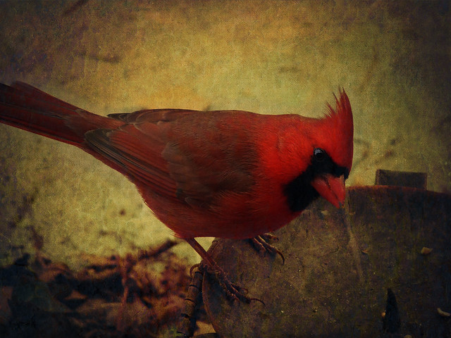 Pretty red bird, he sings it every day!