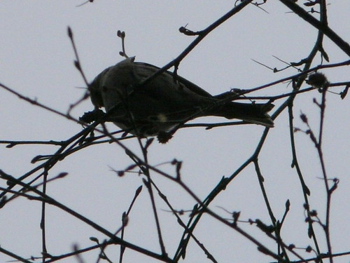 Mealy Redpoll (Just about!)